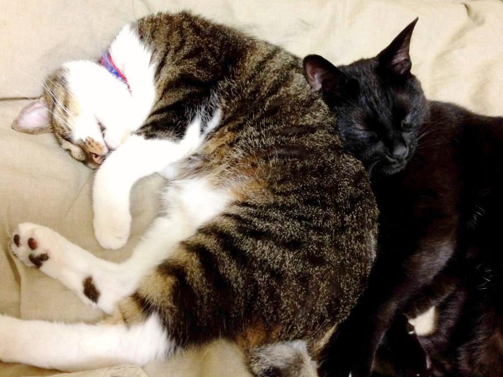 腎不全になる以前の愛猫と一緒に眠るもう1匹の愛猫