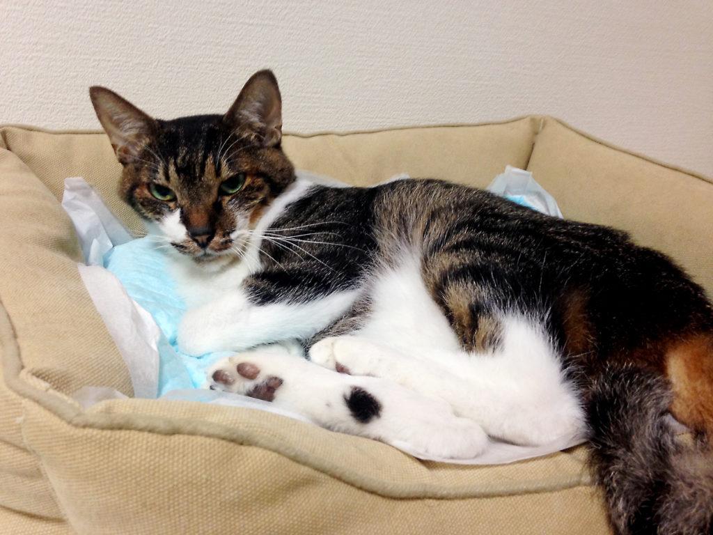 ペットシーツを敷いた寝床に横たわる愛猫