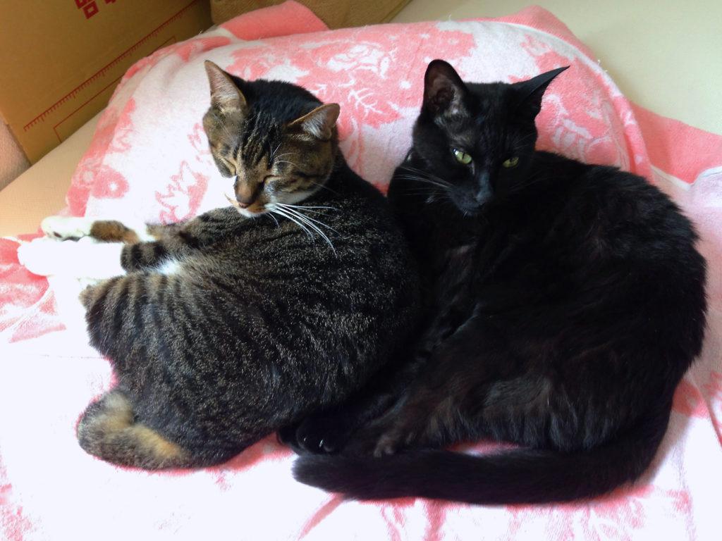 腎不全になる以前の愛猫と寄り添うもう1匹の愛猫