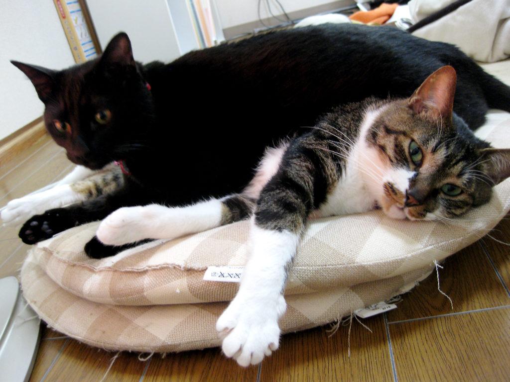 腎不全になる前の愛猫ともう1匹の愛猫