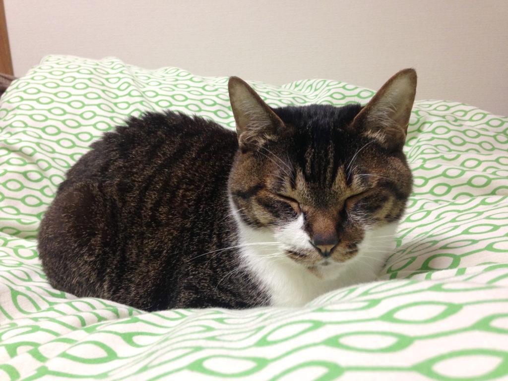 布団の上でくつろぐ愛猫